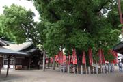 住吉大社内夫婦楠:大阪市保存樹