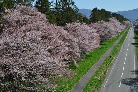 ひだか桜並木