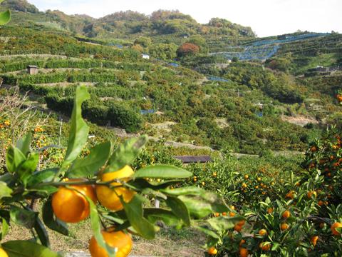 温州ミカンの栽培地