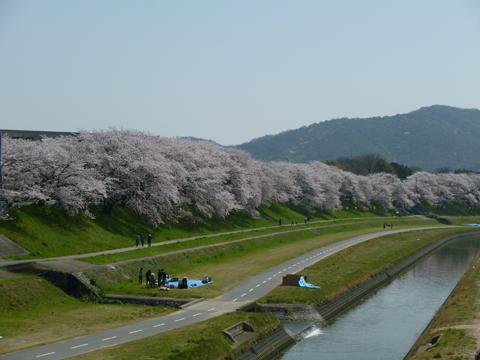 旭川沿いの桜並木